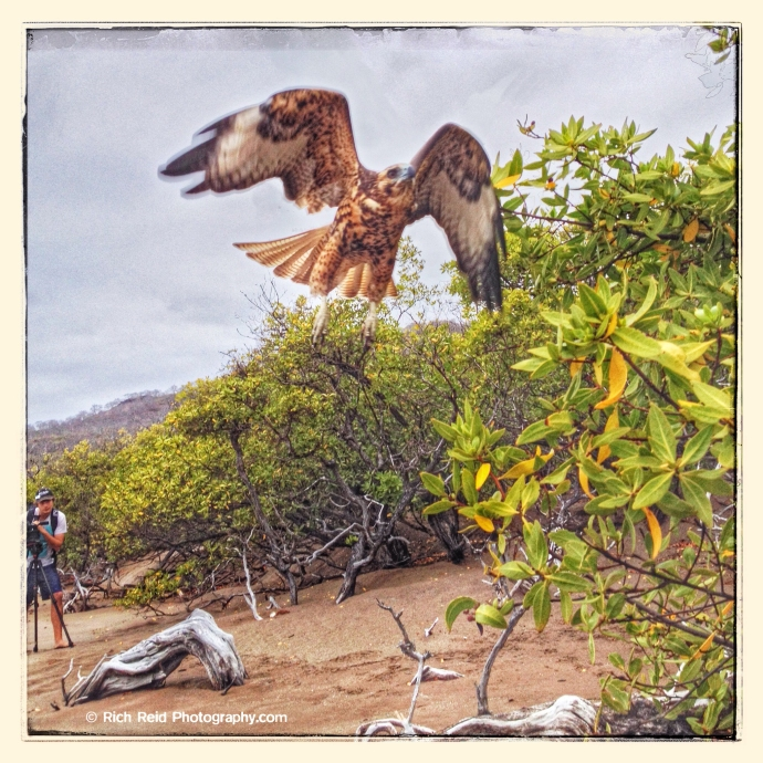 #2 Galapagos hawk flying at Playa Espumilla on Santiago Island in the Galapagos Islands National Park and Marine Reserve, Ecuador.