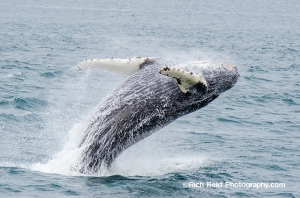 Humpback whale breaching near the Inian Islands in Southeast Alaska.