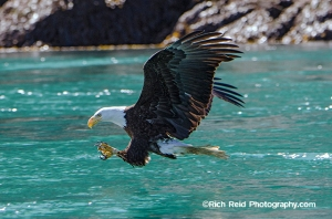Bald eagle capturing a fish at Cross Sound in Southeast Alaska.