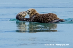 Mom and pup sea otter at Cross Sound in Southeast Alaska.