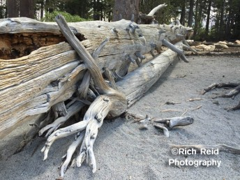 KNOT MARRIED. Twisted logs at McCloud Lake in Mammoth Lakes, California.