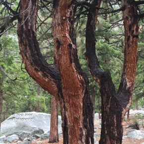 WHY KNOTS. Y shaped trees at Whitney Portal Campground near Lone Pine, California.